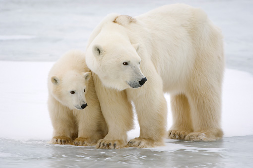 BEA 06 NE0091 01 © Kimball Stock Polar Bear Mother And Cub Standing On Ice And Snow Canada