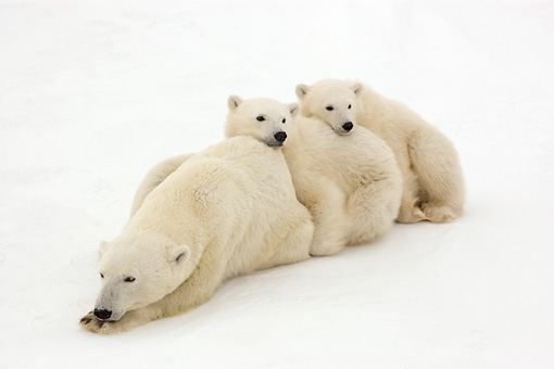 BEA 06 NE0101 01 © Kimball Stock Polar Bear Mother And Two Cubs Laying And Sitting On Snow Canada