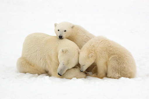 BEA 06 NE0102 01 © Kimball Stock Polar Bear Mother And Two Cubs Laying And Sitting On Snow Canada