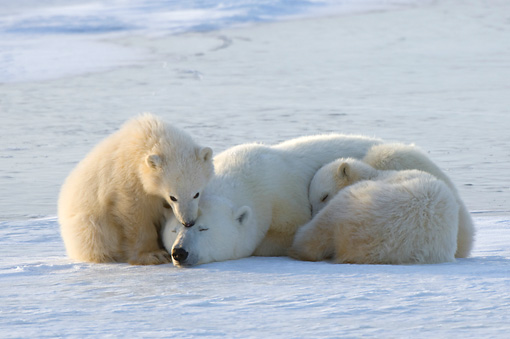 BEA 06 NE0103 01 © Kimball Stock Polar Bear Mother And Two Cubs Laying And Sitting On Snow Canada