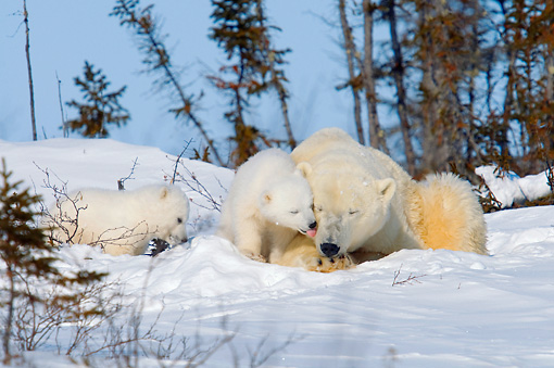 BEA 06 NE0105 01 © Kimball Stock Polar Bear Mother And Two Cubs Laying And Sitting On Snow By Trees, Cub Licking Mother Canada