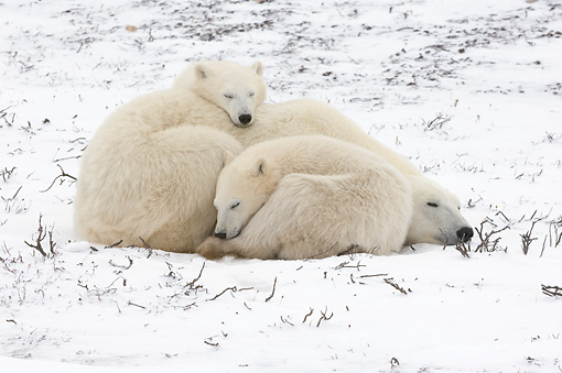 BEA 06 NE0107 01 © Kimball Stock Polar Bear Mother And Two Cubs Sleeping On Snow Canada