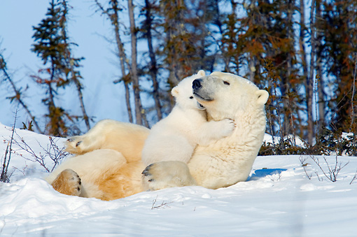 BEA 06 NE0112 01 © Kimball Stock Polar Bear Mother And Cub Resting On Snow By Trees Hugging Canada