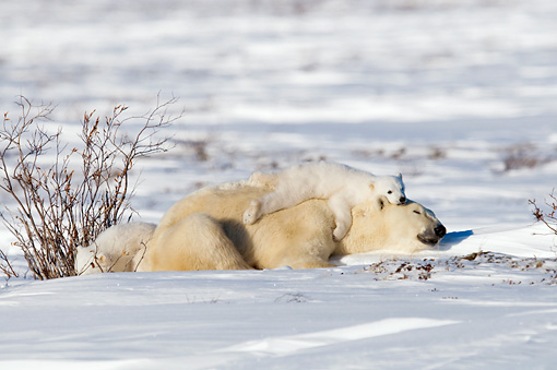 BEA 06 NE0114 01 © Kimball Stock Polar Bear Mother And Two Cubs Resting On Snow Canada