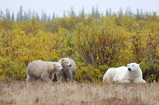 BEA 06 NE0116 01 © Kimball Stock Polar Bear Mother And Two Cubs Laying And Standing By Shrubs Canada