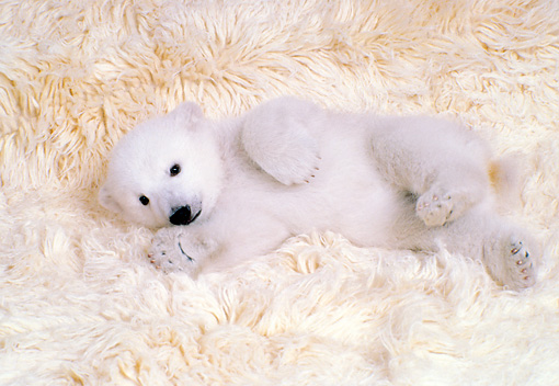 BEA 06 RK0006 01 © Kimball Stock Polar Bear Cub Laying On White Rug