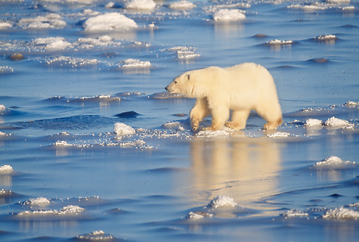 BEA 06 RW0004 01 © Kimball Stock Polar Bear Walking On Ice Canada