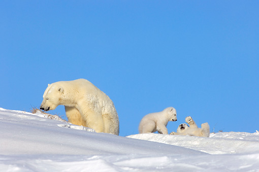 BEA 06 SK0001 01 © Kimball Stock Polar Bear Mother With Two Cubs Playing By Den Arctic National Wildlife Refuge Alaska