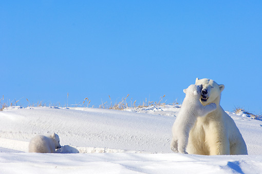 BEA 06 SK0003 01 © Kimball Stock Polar Bear Mother Playing With Two Cubs By Den Arctic National Wildlife Refuge Alaska