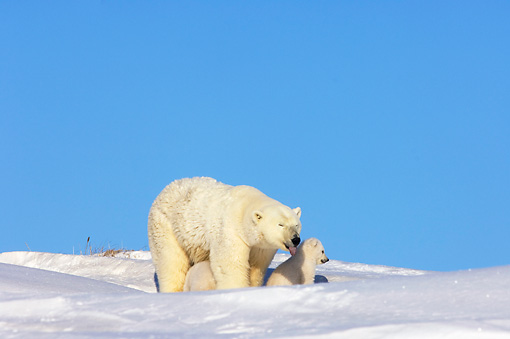 BEA 06 SK0009 01 © Kimball Stock Polar Bear Mother Grooming Two Cubs By Den Arctic National Wildlife Refuge Alaska