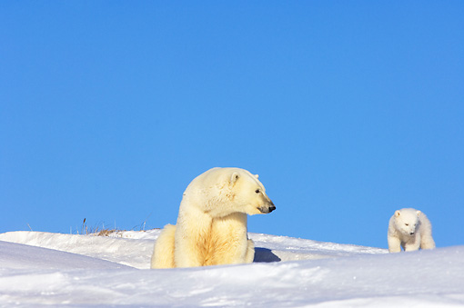 BEA 06 SK0027 01 © Kimball Stock Polar Bear Cub Exploring By Den With Mother Arctic National Wildlife Refuge Alaska