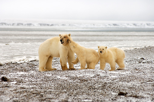 BEA 06 SK0028 01 © Kimball Stock Polar Bear Mother With Two Cubs Hunting For Food Arctic National Wildlife Refuge Alaska