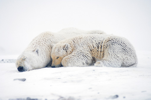 BEA 06 SK0039 01 © Kimball Stock Polar Bear Mother And Cub Huddling Arctic National Wildlife Refuge Alaska
