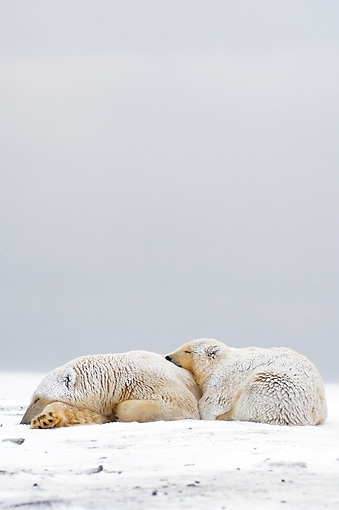 BEA 06 SK0040 01 © Kimball Stock Polar Bear Mother And Cub Huddling Arctic National Wildlife Refuge Alaska