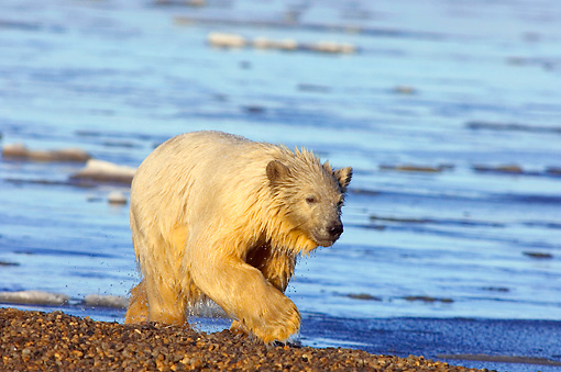 BEA 06 SK0045 01 © Kimball Stock Polar Bear Cub Walking Along Beach After A Swim Arctic National Wildlife Refuge Alaska