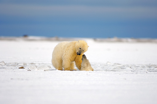 BEA 06 SK0053 01 © Kimball Stock Polar Bear Sow And Cub Swimming In Icy Water Arctic National Wildlife Refuge Alaska