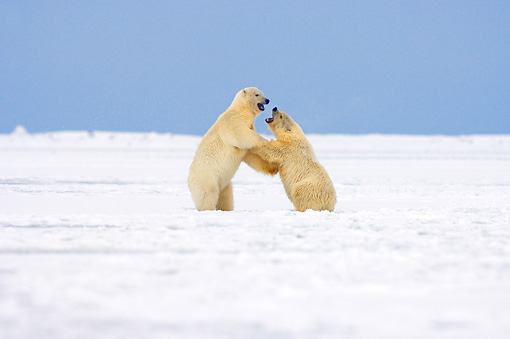 BEA 06 SK0057 01 © Kimball Stock Two Polar Bear Cubs Sparring On Pack Ice Arctic National Wildlife Refuge Alaska