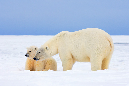 BEA 06 SK0058 01 © Kimball Stock Polar Bear Sow And Cub Standing On Pack Ice Arctic National Wildlife Refuge Alaska
