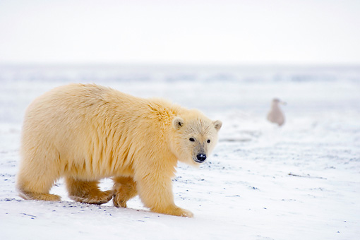 BEA 06 SK0065 01 © Kimball Stock Polar Bear Cub Walking On Pack Ice Arctic National Wildlife Refuge Alaska