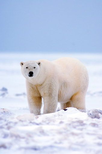 BEA 06 SK0070 01 © Kimball Stock Polar Bear Standing On Pack Ice Arctic National Wildlife Refuge Alaska