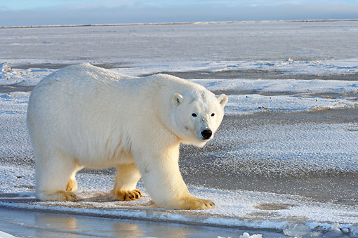 BEA 06 SK0094 01 © Kimball Stock Polar Bear Walking On Pack Ice Arctic National Wildlife Refuge Alaska