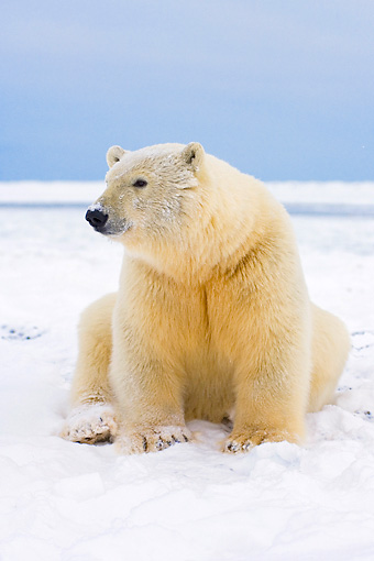 BEA 06 SK0099 01 © Kimball Stock Polar Bear Sitting On Pack Ice Arctic National Wildlife Refuge Alaska