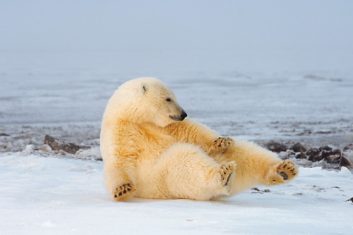 BEA 06 SK0105 01 © Kimball Stock Polar Bear Cub Playing On Pack Ice Arctic National Wildlife Refuge Alaska