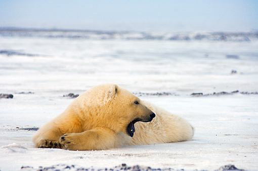 BEA 06 SK0108 01 © Kimball Stock Polar Bear Cub Laying On Pack Ice Arctic National Wildlife Refuge Alaska