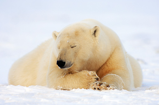 BEA 06 SK0116 01 © Kimball Stock Polar Bear Laying On Pack Ice Arctic National Wildlife Refuge Alaska