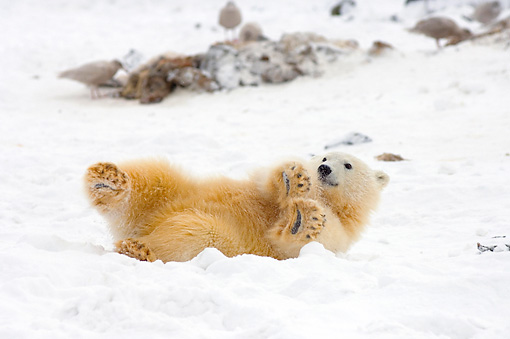 BEA 06 SK0117 01 © Kimball Stock Polar Bear Cub Laying On Pack Ice Arctic National Wildlife Refuge Alaska