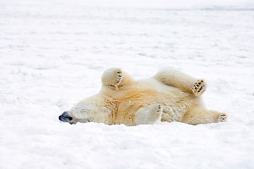 BEA 06 SK0118 01 © Kimball Stock Polar Bear Laying On Pack Ice Arctic National Wildlife Refuge Alaska