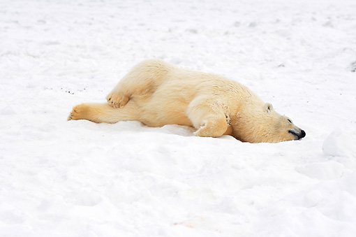 BEA 06 SK0122 01 © Kimball Stock Polar Bear Laying On Pack Ice Arctic National Wildlife Refuge Alaska
