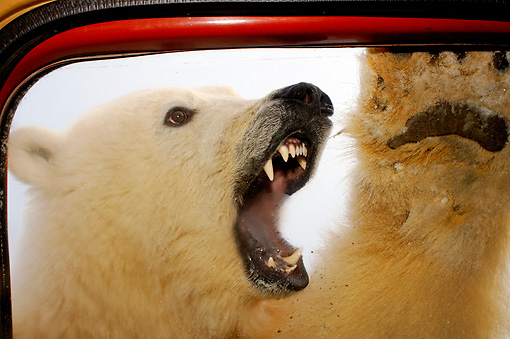 BEA 06 SK0125 01 © Kimball Stock Polar Bear Roaring At Truck Door Arctic National Wildlife Refuge Alaska
