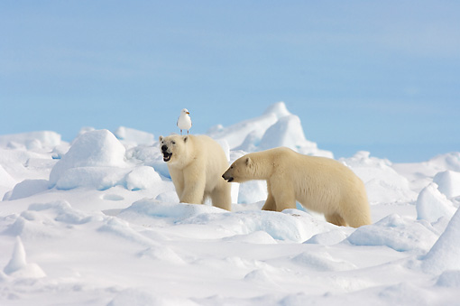 BEA 06 SK0148 01 © Kimball Stock Two Polar Bears Walking On Pack Ice Alaska
