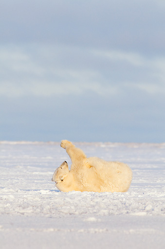 BEA 06 SK0225 01 © Kimball Stock Polar Bear Rolling On Back On Snow