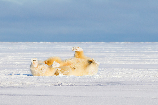 BEA 06 SK0233 01 © Kimball Stock Polar Bears Playing On Snow