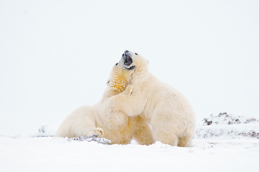 BEA 06 SK0236 01 © Kimball Stock Polar Bears Wrestling On Snow