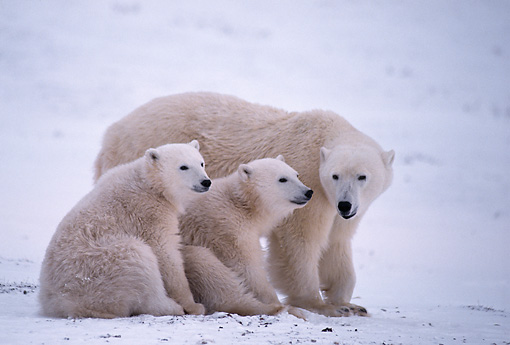 BEA 06 TL0009 01 © Kimball Stock Polar Bear Mother With Cubs On Snow