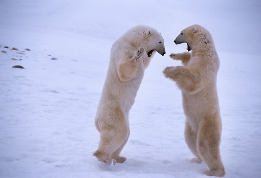 BEA 06 TL0010 01 © Kimball Stock Two Polar Bears On Hind Legs Playing On Snow