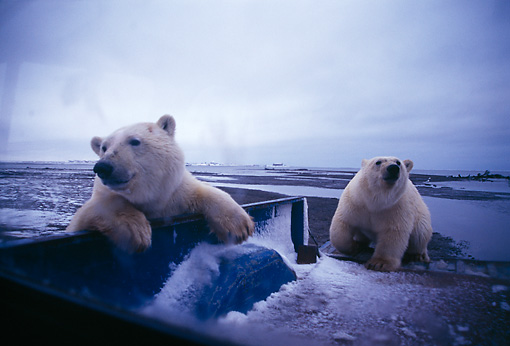 BEA 06 TL0012 01 © Kimball Stock Polar Bears Exploring Bed Of Pickup Truck
