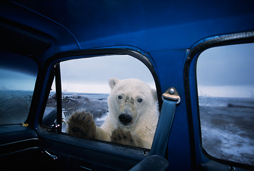 BEA 06 TL0013 01 © Kimball Stock Polar Bear Looking In Truck
