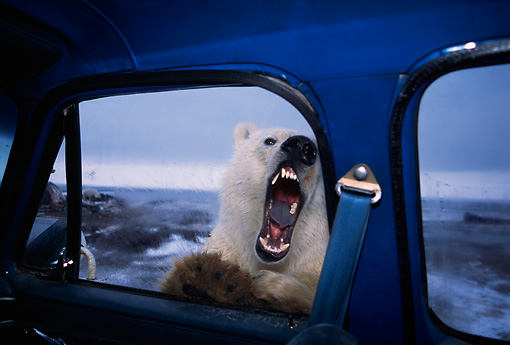 BEA 06 TL0014 01 © Kimball Stock Polar Bear Looking In Truck