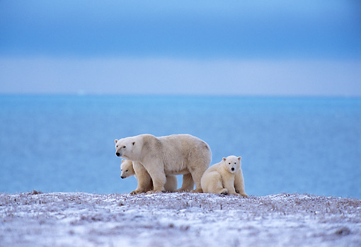 BEA 06 TL0017 01 © Kimball Stock Polar Bear Mother With Two Cubs On Snow