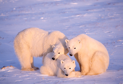 BEA 06 TL0021 01 © Kimball Stock Polar Bear Mother Huddling With Two Yearling Cubs On Snow