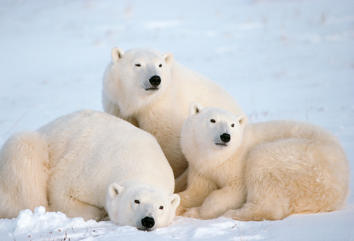 BEA 06 TL0022 01 © Kimball Stock Polar Bear Mother Huddling With Two Yearling Cubs On Snow