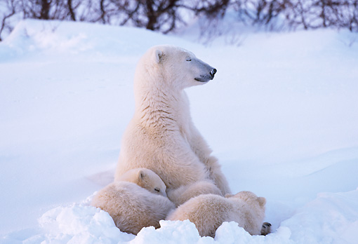 BEA 06 TL0023 01 © Kimball Stock Polar Bear Mother Huddling With Two Cubs In Snow