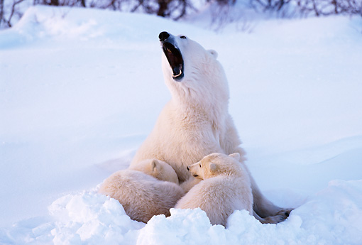 BEA 06 TL0024 01 © Kimball Stock Polar Bear Mother Huddling With Two Cubs In Snow