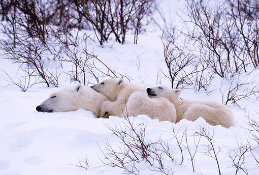 BEA 06 TL0025 01 © Kimball Stock Polar Bear Mother Huddling With Two Cubs In Snow