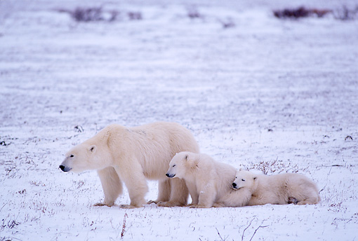 BEA 06 TL0026 01 © Kimball Stock Polar Bear Mother Huddling With Two Cubs In Snowy Field