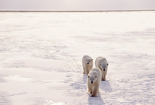BEA 06 TL0027 01 © Kimball Stock Polar Bear Mother With Two Cubs Approaching Camera On Vast Ice And Snow Plain